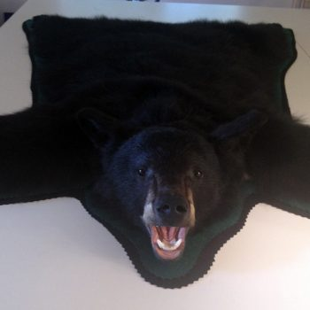 Black Bear Taxidermy Rug - Whidbey Island Taxidermy