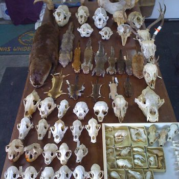 Taxidermy Cleaned Skulls by Whidbey Island Taxidermy