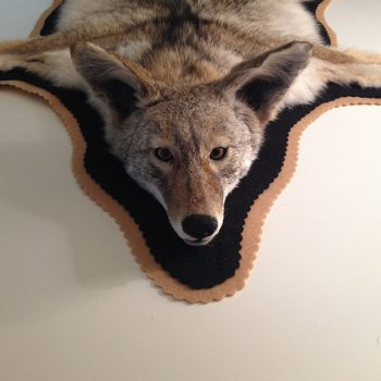 Coyote Rug with Felt Border by Whidbey Island Taxidermy