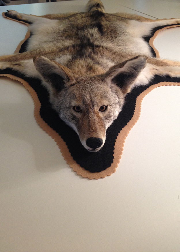 Nice Coyote Rug With Felt Border By Whidbey Island Taxidermy ...