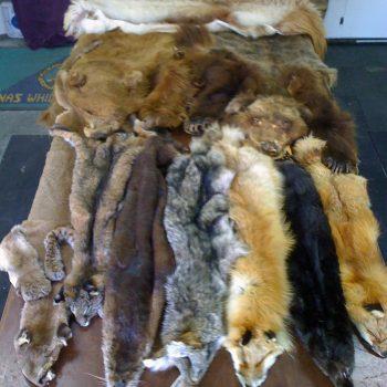 Taxidermy Tanning Furs - Whidbey Island Taxidermy