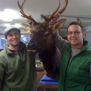 Elk Shoulder Mount - Whidbey Island Taxidermy
