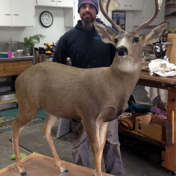 Mule Deer Live Mounted - Whidbey Island Taxidermy