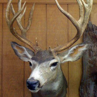 Mule Deer - Whidbey Island Taxidermy