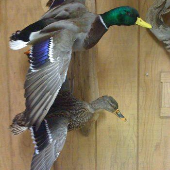 Pair of Mallard Ducks Flying - Whidbey Island Taxidermy