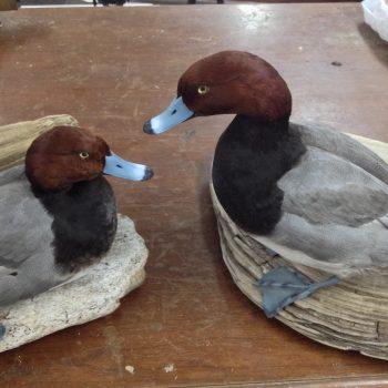 Taxidermy Red Head Ducks - Whidbey Island Taxidermy