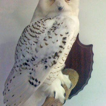 Snowy Owl - Whidbey Island Taxidermy