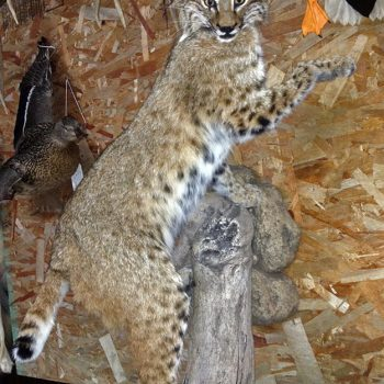 Bobcat Live Mounted - Whidbey Island Taxidermy