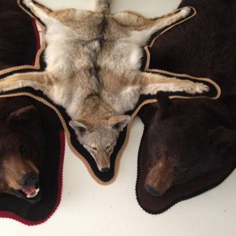 Taxidermy Rugs - Bears and Coyote by Whidbey Island Taxidermy