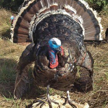 Taxidermy Strutting Wild Turkey - Whidbey Island Taxidermy