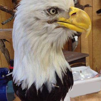 Bald Eagle Head Mounted for Native American Dance Outfit