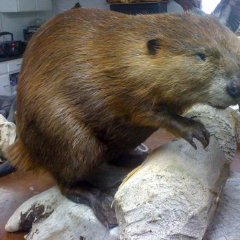 Beaver Live Mount - Whidbey Island Taxidermy