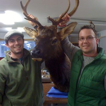 Elk Shoulder Mount - Whidbey Island Taxidermy