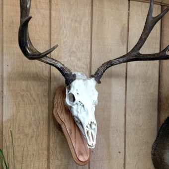European Skull Mount Taxidermy