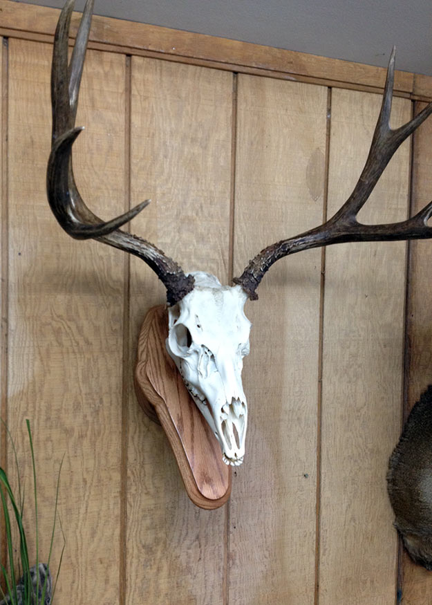 05892204393 ... European Skull Mount Taxidermy
