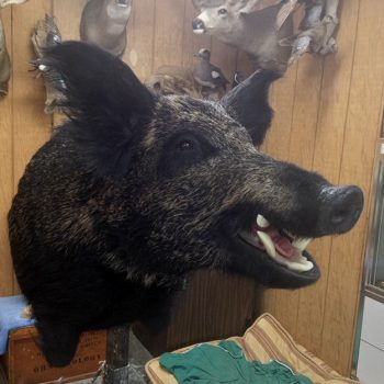 Feral Pig from Hawaii Taxidermy