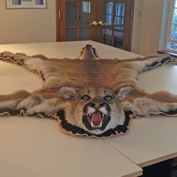 Mountain Lion Rug by Whidbey Island Taxidermy
