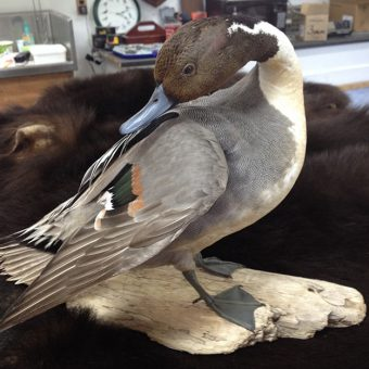 Pintail Duck - Whidbey Island Taxidermy