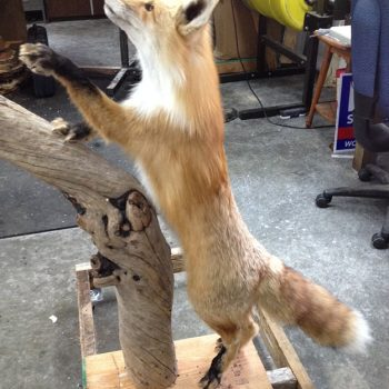 Red Fox Live Mount - Whidbey Island Taxidermy