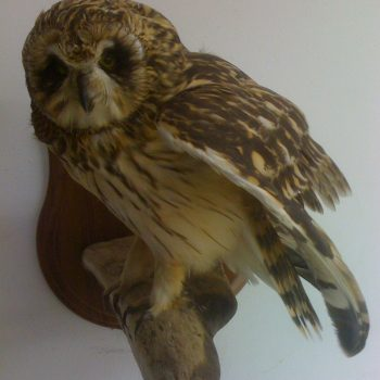 Short Eared Owl - Whidbey Island Taxidermy