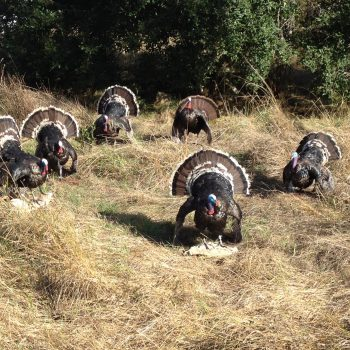 Taxidermy Strutting Wild Turkeys - Whidbey Island Taxidermy