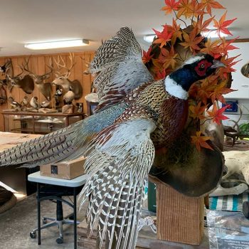 Pheasant - Whidbey Island Taxidermy