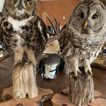 Owls - Whidbey Island Taxidermy