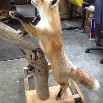 Red Fox Mount - Whidbey Island Taxidermy