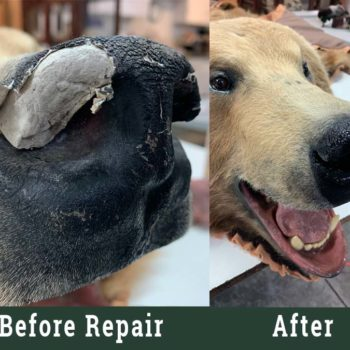 Bear Nose Repair - Whidbey Island Taxidermy