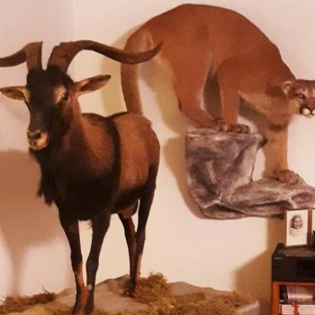 Mountain Lion and Spanish Goat - Whidbey Island Taxidermy